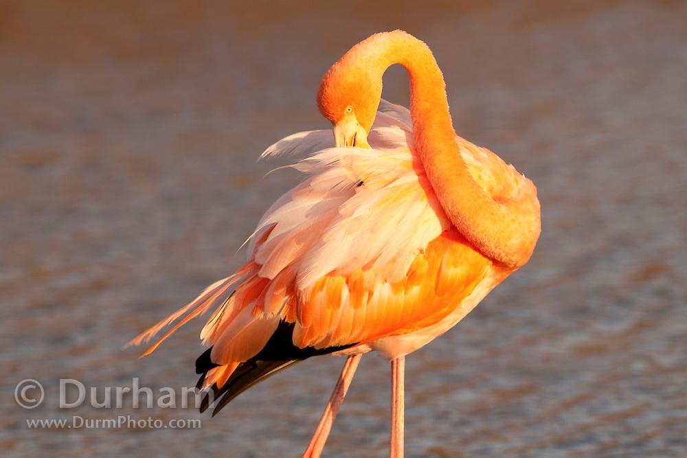 Greater Flamingo (Phoenicopterus ruber) near Bachas Beach on Santa Cruz Island (Indefatigable Island), Galapagos Islands, Ecuador.