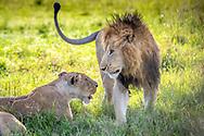 Two lions, (Panthera leo) in Maasai Mara National Park, Kenya, Africa <br /> male is named Chongo