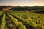 Rows of wine grapes at Spring Valley Vineyard, with rolling hills and wheat fields in the distance; Walla Walla region of eastern Washington. ..#2443-1129