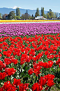 WA13076-00...WASHINGTON - Colorful field of tulips blooming at RoozenGaarde Bulb Farm near Mount Vernon.