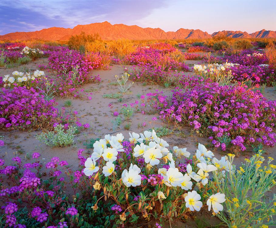 0167-1004 ~ Copyright: George H. H. Huey ~ Dune evening primrose and sand verbena carpet the Sonoran Desert, with the Mohawk Mountains in distance. Cabeza Prieta National Wildlife Refuge, Arizona.