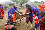 Africa, Tanzania, Maasai an ethnic group of semi-nomadic people Bleeding a cow. Animal blood is an important part of their diet
