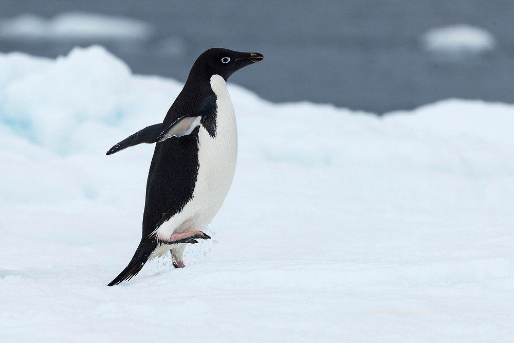 An Adelie penguin waddles on Wednesday, Feb. 7, 2018 in Brown Bluff, Antartica. (Photo by Ric Tapia)