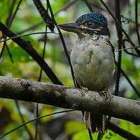 Endemic to New Guinea, the Hook-billed Kingfisher (Melidora macrorrhina) is a true forest species, preying on lizards, frogs, and large insects.