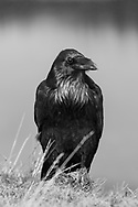 Raven perched on a rock on a high bank along the Yellowstone River, Yellowstone National Park, WY, © 2010 David A. Ponton