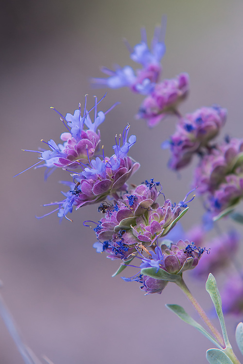 Close-up of the tiny flowers of purple sage. From this point of view, it is easy to see how it resembles mint, which it is a member of the same family called Lamiaceae.