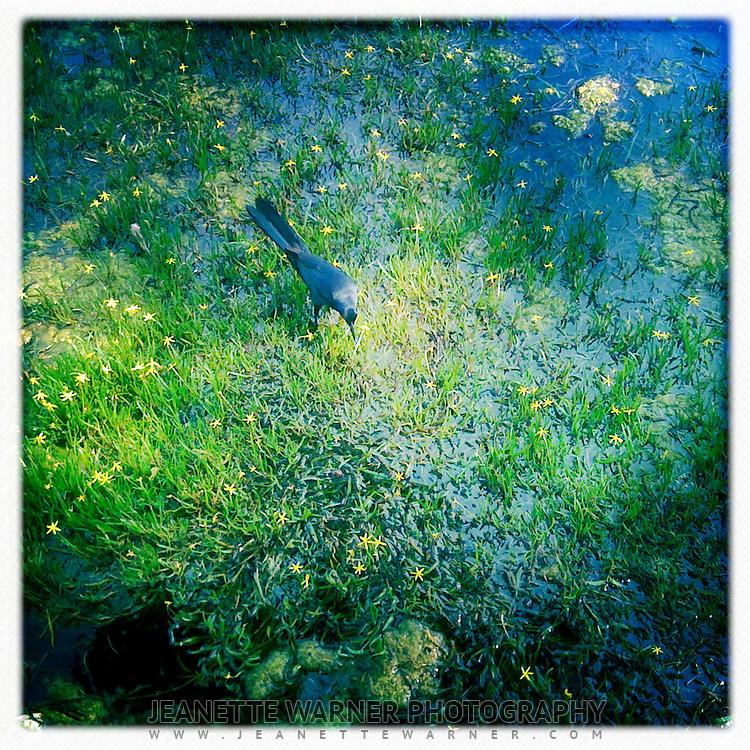 Grackle standing on seaweed in Barton Springs, Austin, Texas