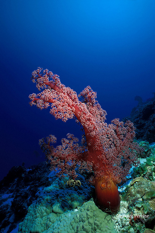 soft coral, Dendronephthya sp., Flinders Reef, Coral Sea, Queensland, Australia ( Western Pacific Ocean )