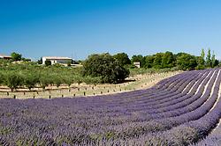 Valensole, France - 7/17/2012 - Valensole, Provence, France(Photo by Sharpshooters/VWPics) *** Please Use Credit from Credit Field *** *** Please Use Credit from Credit Field ***