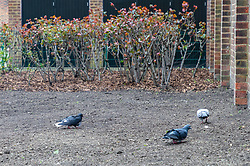 Pigeons feed on the newly laid grass seed covering what was once a flourishing vegetable garden in the grounds of Debdale House on the Whiston Estate in Hackney, established by keen gardener Lou Downe, which has now been dug up and seeded with grass by council workers after Ms Downe's activities were determined as trespass by Hackney Council.. London, March 08 2019.