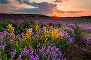 Lavender field with yellow flowers at sunset