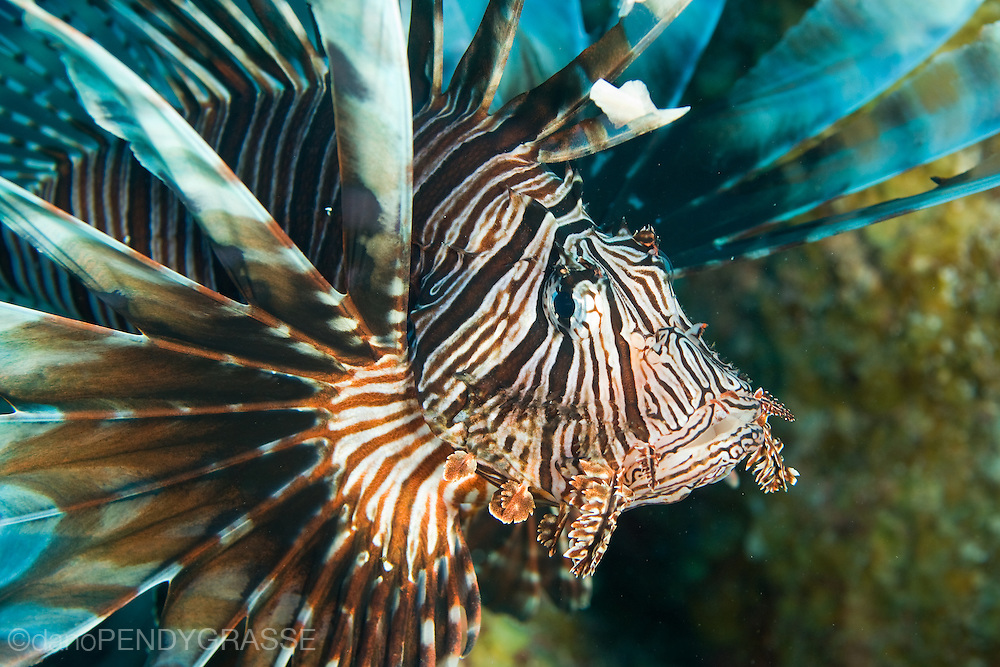 The invasive lionfish (Pterois volitans)shows off it's venomous spines in Belize.