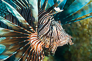 The invasive lionfish (Pterois volitans)shows off it's venomous spines in Belize.