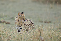 Serval cat hunting, Central Serengeti