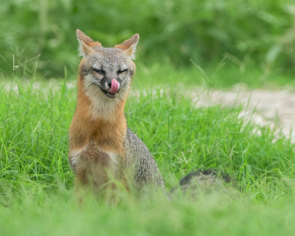 Common Gray Fox, Urocyon cinereoargenteus;<br /> Photographer:  Cissy Beasley<br /> Property:  Twin Oaks Ranch / Lon Cartwright Family<br /> Live Oak County
