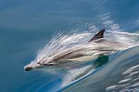 Long-beaked common dolphins in the Gulf of California near Isla Raza in Baja California, Mexico.