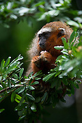 Red Titi Monkey (Callicebus discolor) CAPTIVE <br /> Yasuni National Park, Amazon Rainforest<br /> ECUADOR. South America<br /> HABITAT & RANGE: Range of forest types from Colombia, Ecuador and Peru.