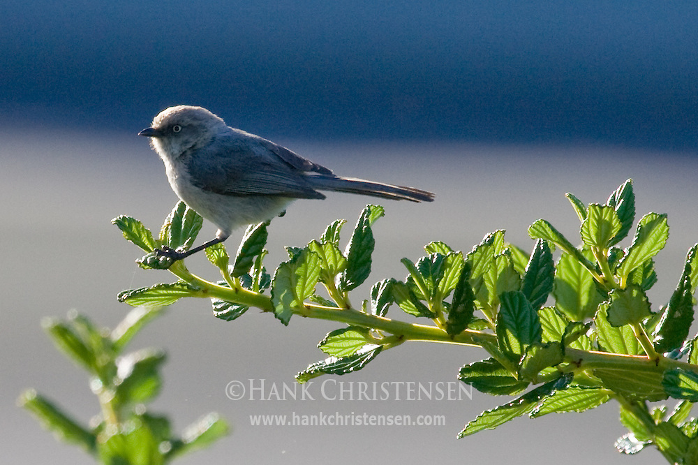 Bushtit perched on plant
