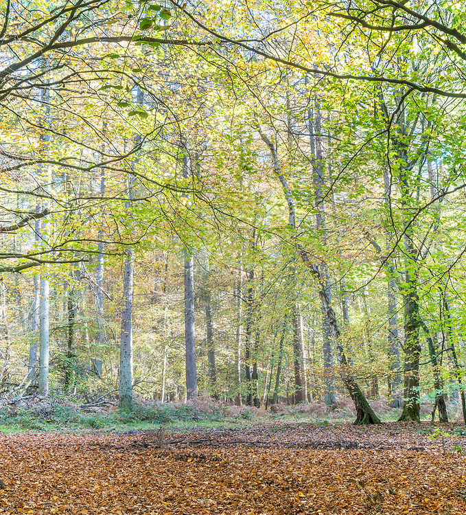 Autimn leaves in the Ashridge forest.
