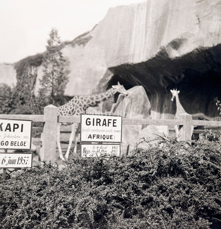 giraffes at the Pris Zoo ca 1960s