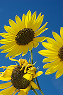 sunflowers against bright blue sky