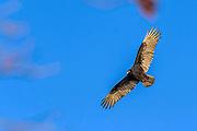 Turkey Vulture - Cathartes aura soaring against a blue sky