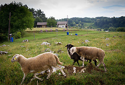 Sheep during Slovenian Road Cyling Championship 2013 on June 23, 2013 in Gabrje, Slovenia. (Photo by Vid Ponikvar / Sportida.com)