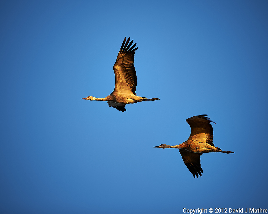 Pair of Sandhill Cranes in Flight.  Bitter Lake National Wildlife Refuge near Roswell. Image taken with a Nikon D4 and 300 mm f/2.8 VR lens (ISO 100, 300 mm, f/4, 1/800 sec).