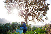 PASO ROBLES, CA- December 5, 2016:  Employees at Windrose Farm harvest Spigarello on Monday, December 5, 2016.   (Mariah Tauger /  For the Times)