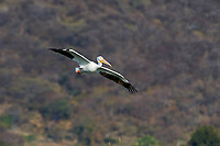 American white pelican (Pelecanus erythrorhynchos) flying over Lake Chapala, Jalisco, Mexico