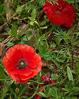 Red Poppy flower. Backyard spring nature in New Jersey. Image taken with a Leica T camera and 55-135 mm lens (ISO 100, 135 mm, f/5, 1/800 sec).