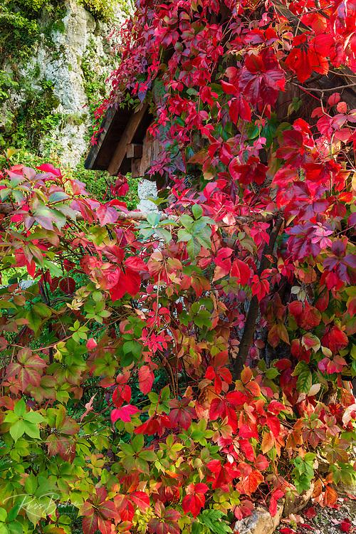Autumn vines, Korana Village, Plitvice Lakes National Park, Croatia