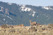 USA, Wyoming, Yellowstone National Park, Mule Deer