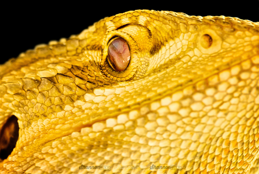 Central Bearded Dragon (Pogona vitticeps), also known as the Inland Bearded Dragon cleaing its eye with its nictitating membrane or third eyelid.