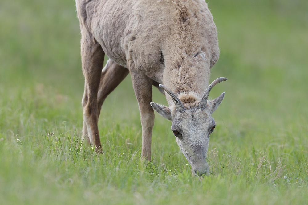 Bighorn Sheep, The Badlands National Park, South Dakota
