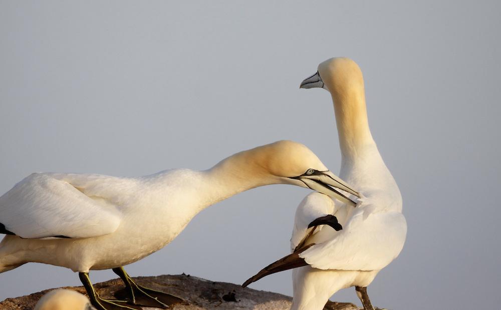 Gannets ( Sula bassana ) Ireland Saltee Islands south east coast