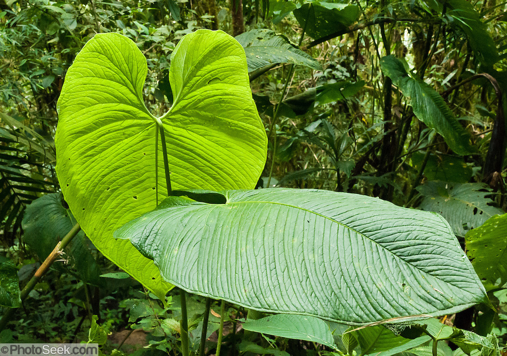 Large broad leaves grow in Bellavista Cloud Forest Reserve, near Quito, Ecuador, South America.
