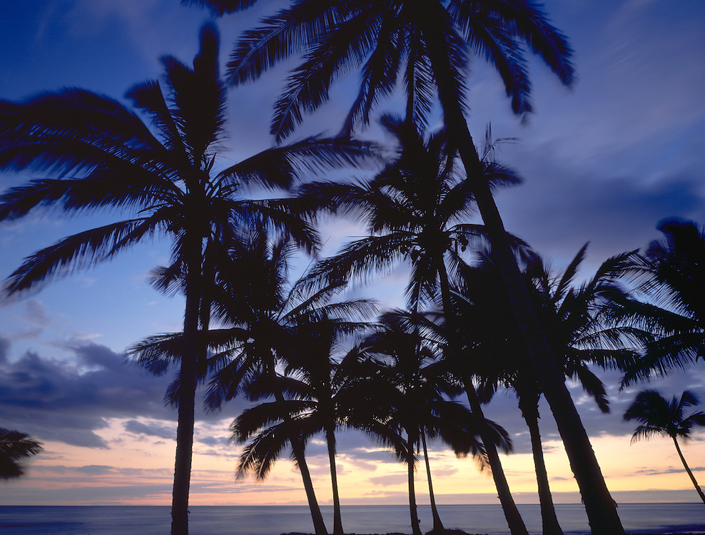 Palm tree silhouettes at sunset along the South Kohala Coast of the Big Island of Hawaii