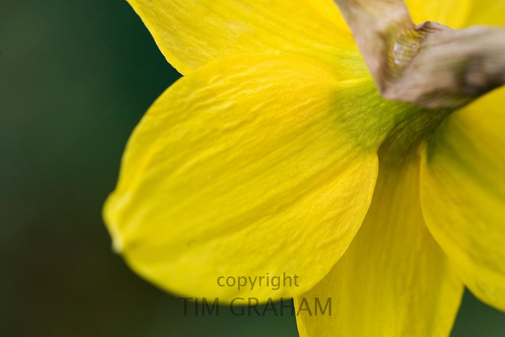 Daffodil petals, Oxfordshire, United Kingdom UK