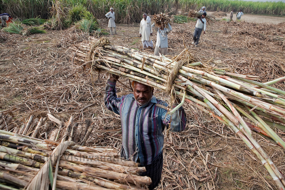 Farmers load  cut sugarcane stalks onto a tractor in the outskirts of Modi Nagar, in Uttarpradesh, India, on Friday, November 12, 2010. Photographer: Prashanth Vishwanathan/Bloomberg News