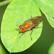 Thricops diaphanous, a member of the Muscidae family of flies.