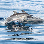 A young spinner dolphin (Stenella longirostris) leaping out of the water while swimming alongside its mother. Young dolphins typically swim next to their mothers in this manner.