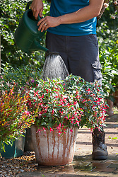 Feeding a container grown fuchsia with liquid feed using a watering can.