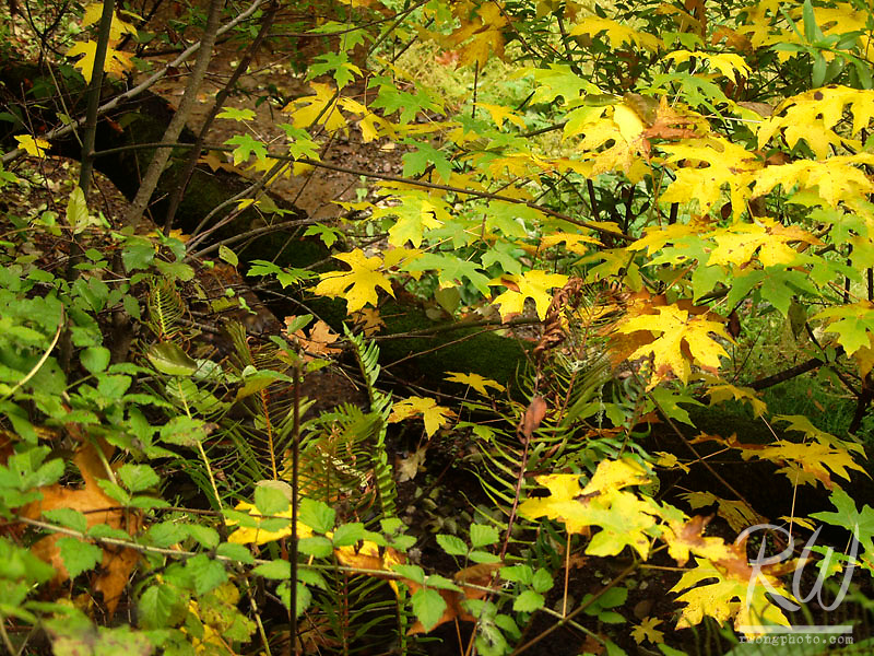 Fall Foliage, Samuel P. Taylor State Park, California