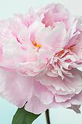 Paeonia lactiflora 'Sarah Bernhardt' - peony