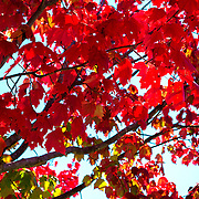 Red Maple 2