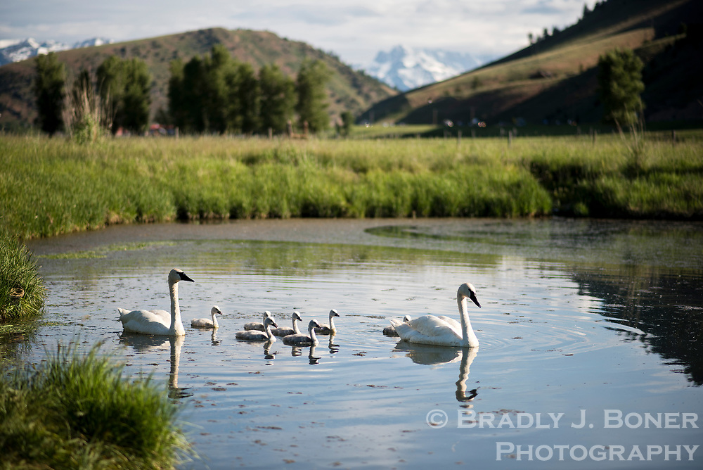 A pair of swans swims with their two-week-old cygnets at the Wyoming Wetland Society's 10-acre pond complex south of Jackson on Thursday morning. The family is part of program that restores swan populations around the region.