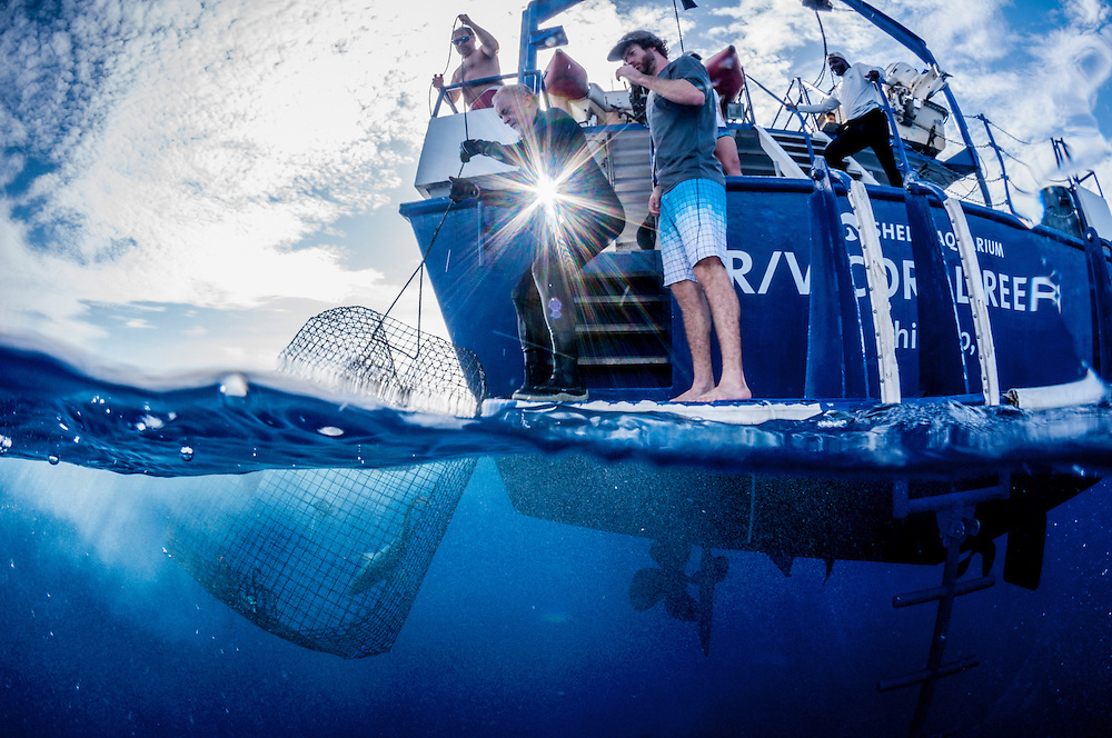 Scientists and volunteers pull in a trap with Nassau Grouper off Long Island, Bahamas.