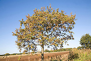 Small oak tree in autumn against blue sky