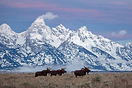 A trio of bull moose pause in front of the Teton range in the pre-dawn hours.